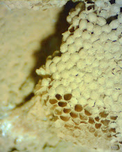 Photo: Tubifera ferruginosa