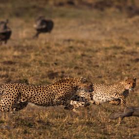 Cheetah Hunt by Ken Dyball - Animals Other ( masai mara kenya cheetahs warthog hunting chasing )
