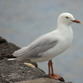 Seagull by Sue Bensted - Animals Birds ( bird, water, seagull, sea, rest )