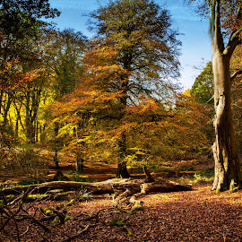 Autumn Glory by Russell Mander - Landscapes Forests ( autumn. leaves, golden, beech trees, colours )