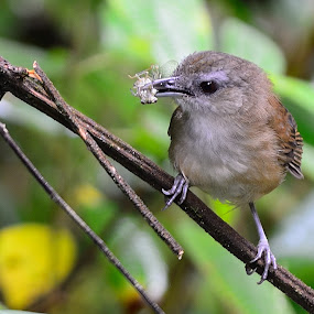 Horsfield's Babbler by Azmi Jailani - Animals Birds