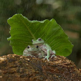 Brotherhood..... by Bernard Tjandra - Animals Amphibians