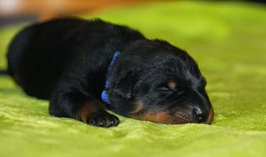 Foto: Reutje blauw, 5 dagen oud
