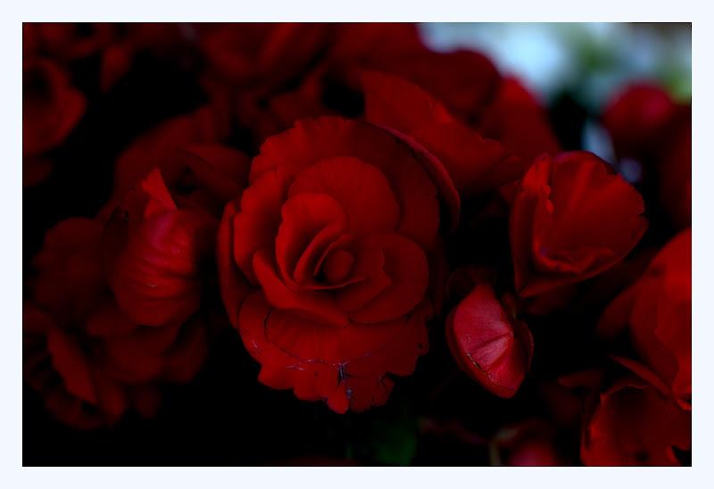 begonia red di fabryfoto