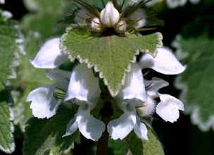 Photo: Lamium moschatum Mill.