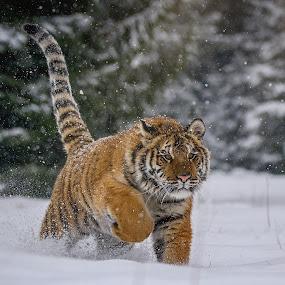Snow Walking by Jiri Cetkovsky - Animals Lions, Tigers & Big Cats ( winter, tiger, snow, ussurian, walk )