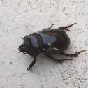 Florida Deep Digger Beetle