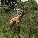 Masai Giraffe (Juvenile)