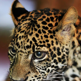 Leopard Cubby by Esther Pupung - Animals Lions, Tigers & Big Cats (  )