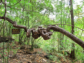 Photo: knotty woody vine along the cliffside trail