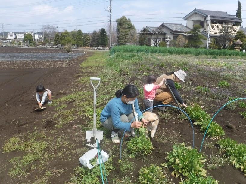 ほうれん草の収穫。1歳と2歳のこどももシャベル使ってます。この後も泥遊びを楽しんでました。