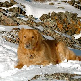 Camo Toby by Sandra Updyke - Animals - Dogs Portraits ( dogs, scenery with dog, toby, lake superior shoreline, golden retriever,  )