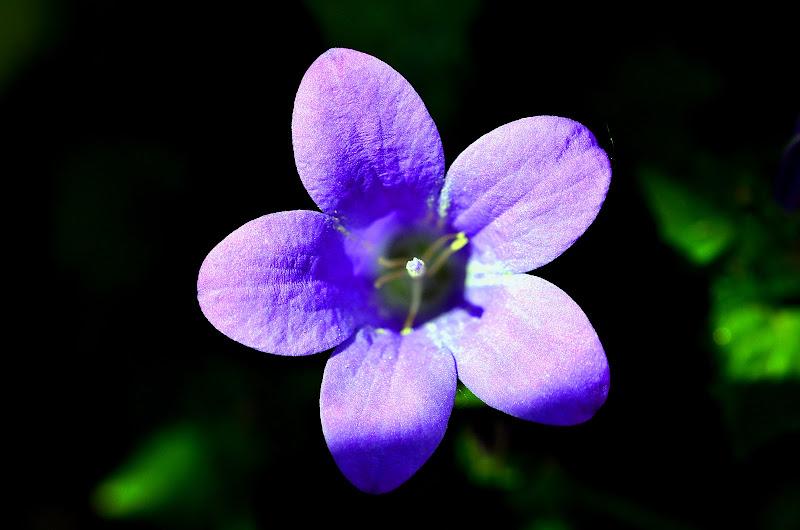 Violetta di niro