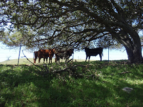 Photo: Cows under the tree