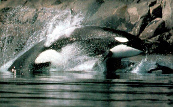 Photo: Orca Chasing Porpoise