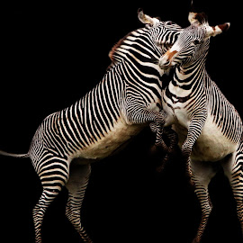Prancing Zebras  by Tracy Morris - Animals Other Mammals