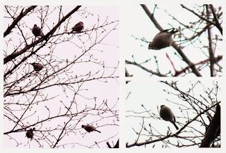 Photo: 撮影者:佐藤サヨ子 ウソ タイトル:寒い寒い正月 観察年月日:2015年1月2日 羽数:5羽 場所:高幡台団地緑地 区分:行動 メッシュ:武蔵府中3H コメント:手の指がかじかんでしまうほど寒い日ですが、裏山に入ると例によってガビチョウ以外すがたがみあたりませんでしたが、いつもウソが来ると止まる桜の木を見上げるといました。しかし天辺こずえ近くでなかなか焦点があいません。