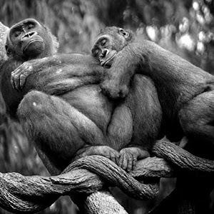 lowland-gorillas-nap_12670_990x742.jpg