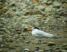 Photo: Royal Tern at the Aticama River mouth, Matanchen Bay