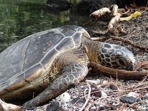 Photo: Turtle atKiholo Bay.