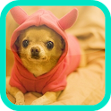 Chihuahua wallpaper icon