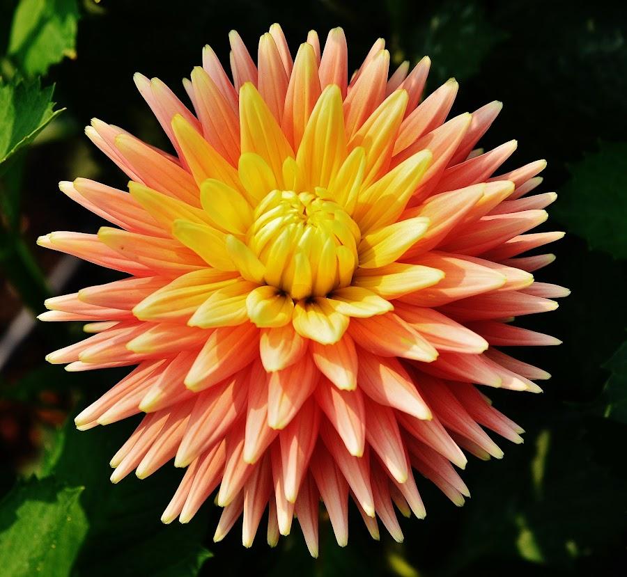 Full Bloom by Thomas Barr - Flowers Single Flower