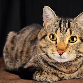by Sean Valdez - Animals - Cats Portraits (  )
