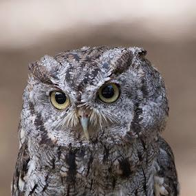 Close up of Flammulated owl by Janet Marsh - Animals Birds ( flammulated owl, sulfur creek,  )