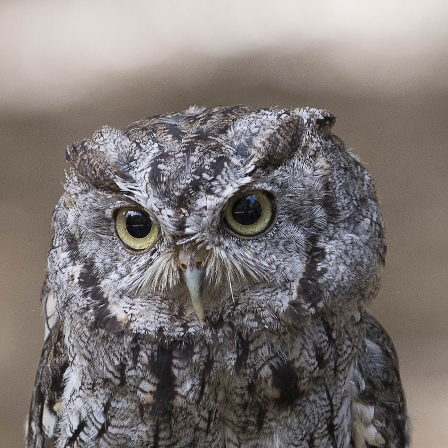 Close up of Flammulated owl by Janet Marsh - Animals Birds ( flammulated owl, sulfur creek,  )