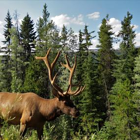 Male Elk by Chris Bertenshaw - Animals Other Mammals ( horns, antlers, elk, banff )