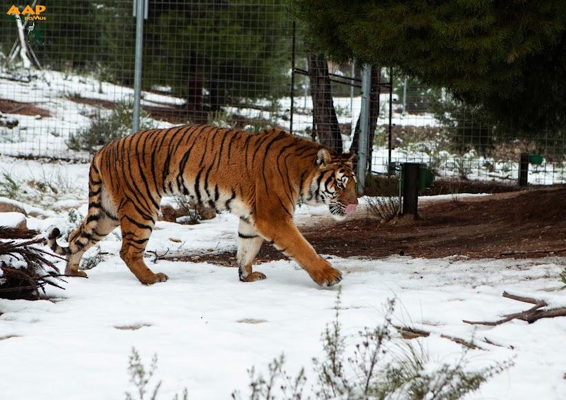 Un tigre del AAP Primadomus de Villena (Alicante) disfruta de la nieve.