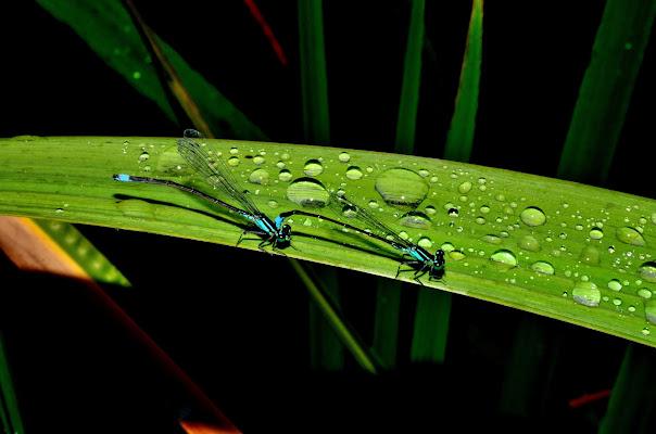 Coppia di libellule tra gocce di pioggia di benny48