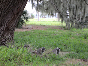Photo: These raccoons looked curious, but scampered away as soon as I approached.