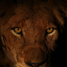 Staring Lion by Andre de Kock - Animals Lions, Tigers & Big Cats ( lion, big five, lion close up, lion at night, big ca, safari, big 5 )