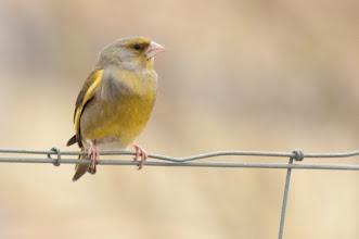 Photo: Greenfinch (Grünfink); Inchnadamph, SCOT
