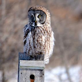 watching by Jean-Pierre Machet - Animals Birds ( oiseau, bird, rapace, nature, great gray owl, chouette lapone,  )