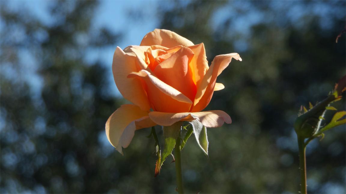 Raw Rose 1.jpg