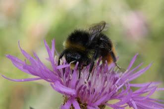 Photo: Bombus lucorum  Hymenoptera > Apidae