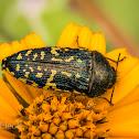 Yellow-marked Buprestid