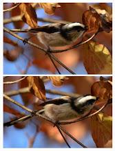 Photo: 撮影者:村山和夫 エナガ タイトル:エナガの食事 観察年月日:2014年11月22日 羽数:20羽 場所:片倉の集いの森公園 区分:行動 メッシュ:八王子6G コメント:混群(コゲラ、四十雀)で飛んで来て、木々の葉裏を探っている。葉裏に潜むアブラムシが目的だ。家庭園芸のバラなどに付き困り者のアブラムシだが、エナガにとっては大事な食事メニューだ。