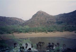 Photo: Buffalo drinking at a reduced water hole in Ranthambhore