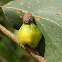 Scale insect gall