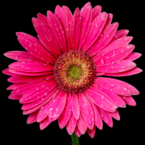 Gerbera by Amrita Bhattacharyya - Flowers Single Flower (  )