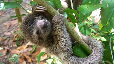 Photo: Baby sloth named Victory adopted by Tina Benson, Kimberly Carlisle, Christina Garner, Carolyn Shaw, Patricia Britt and Pablo Porras  2/2012