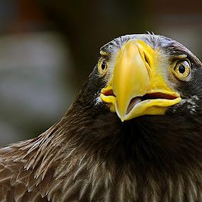Where hawks dare by Mladjan Pajkic - Animals Birds (  )