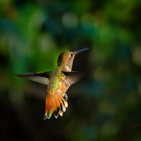 Allen's Hummingbird 1170102 by Ken Wade - Animals Birds ( allen's hummingbird, selasphorus sasin, birds in flight,  )