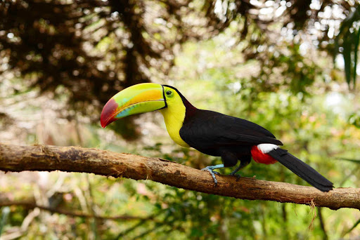 Belize-toucan.jpg - A keel-billed toucan in Belize.