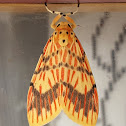 Orange Barrow Moth