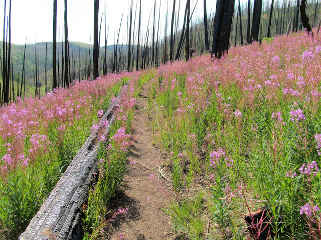 Trail through burned trees and Fireweed