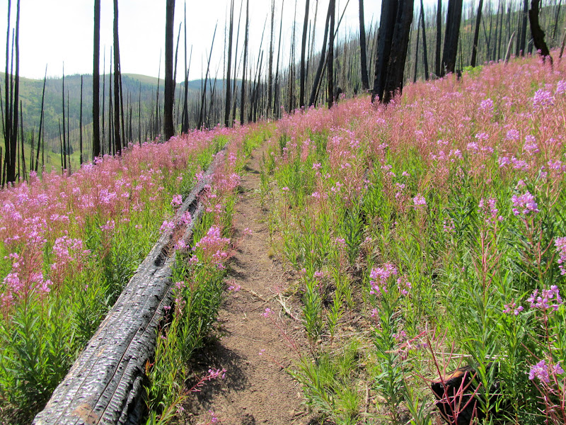 Photo: Trail through burned trees and Fireweed
